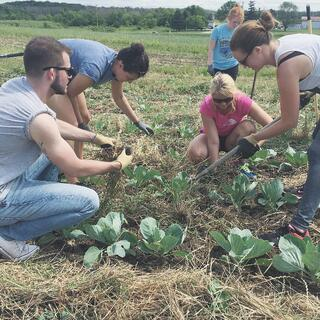 Accelity_employees_picking_weeds_out_of_a_cabbage_patch.jpg